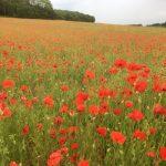Poppey Field Cuxton